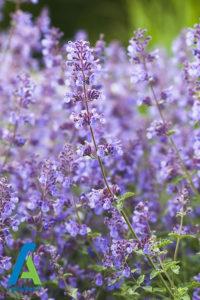 8 معرفی گل های تابستانی