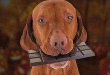 Photo of اقدامات لازم جهت درمان سگی که با شکلات مسموم شده است