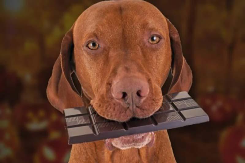 5 رفع مسمومیت سگ با خوردن شکلات