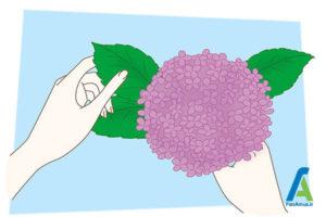 7 خشک کردن گل ادریسی