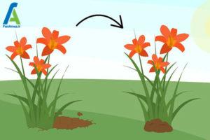 8 پرورش گل زنبق رشتی