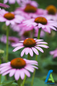 9 معرفی گل های تابستانی