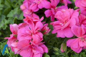 9 گل های ایمن برای افراد آلرژیک
