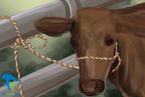 1 اصول صحیح شستن و تمیز کردن گاو