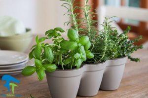 1 گیاهان مناسب برای پرورش در آشپزخانه