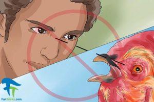 3 جلوگیری از حمله خروس به انسان