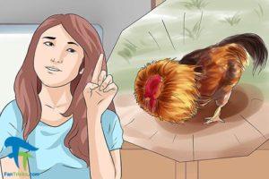 4 جلوگیری از حمله خروس به انسان