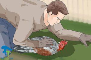 5 جلوگیری از حمله خروس به انسان