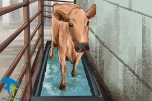 6 اصول صحیح شستن و تمیز کردن گاو