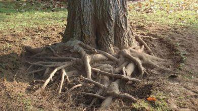 Photo of چگونه ریشه باقی مانده از درخت را خشکانده و از بین ببریم؟