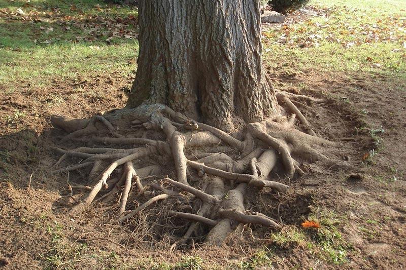 8 از بین بردن ریشه درختان