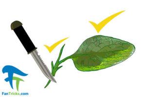 4 چگونگی استفاده از گیاه سنفیتون