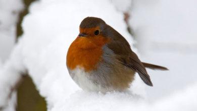 Photo of پرندگان چگونه خود را در فصل زمستان گرم نگه می دارند؟