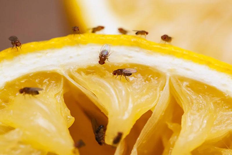 2 از بین بردن پشه میوه با اسید بوریک