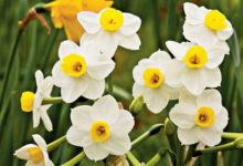 Photo of برای گل دهی گل نرگس چه باید کرد؟