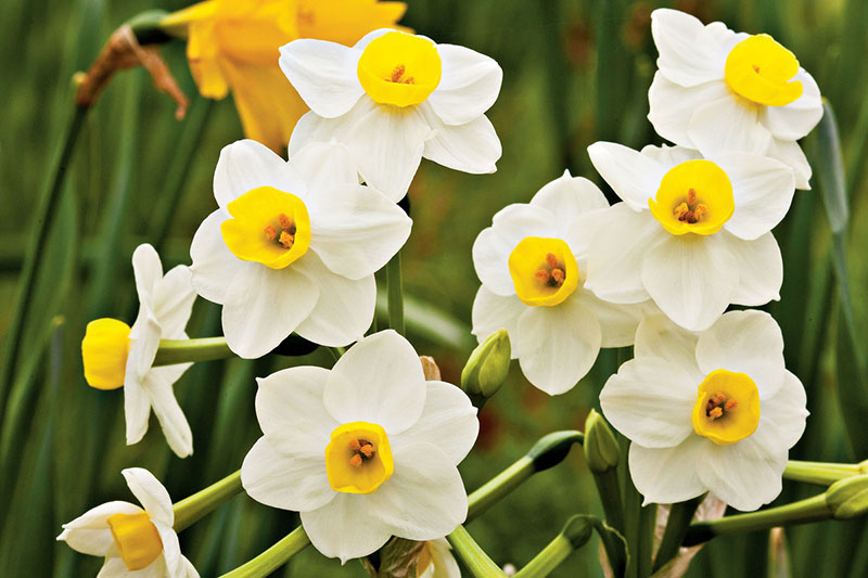 5 نحوه پرورش گل نرگس برای گل دهی