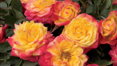 Photo of آموزش نحوه کاشت و پرورش گل رز مینیاتوری در خانه