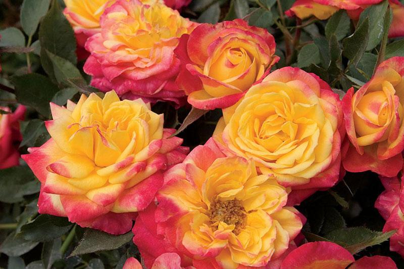 11 کاشت و پرورش گل رز مینیاتوری