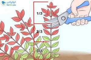 2 هرس کردن گیاه ناندینا یا بامبو مقدس