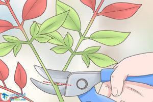 3 هرس کردن گیاه ناندینا یا بامبو مقدس