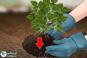 3 کاشت و پرورش گل رز مینیاتوری