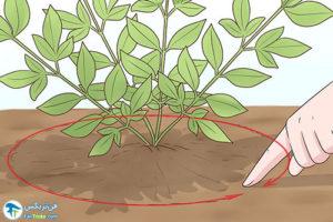 4 هرس کردن گیاه ناندینا یا بامبو مقدس