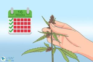 5 اصول صحیح برداشت گیاه شاهدانه