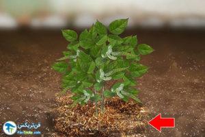 5 کاشت و پرورش گل رز مینیاتوری