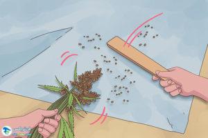 6 اصول صحیح برداشت گیاه شاهدانه