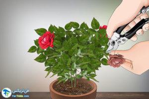 9 کاشت و پرورش رزمینیاتوری
