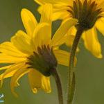 1 تاثیرگل همیشه بهار بر درمان آرتریت