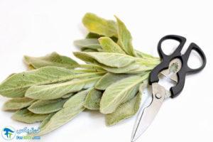 1 طرز استفاده از گیاه دارویی مریم گلی