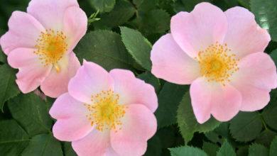 Photo of نحوه از بین بردن و ریشه کن کردن کامل گل رز وحشی یا نسترن