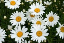 Photo of اصول صحیح برداشت گیاه بابونه جهت تقویت، رشد و افزایش گل دهی آن