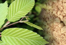 Photo of چگونگی مصرف و استفاده از پودر نارون لغزنده