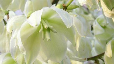 Photo of چگونه گل یوکا یا زنگوله ای را به صورت خوراکی مصرف کنیم؟
