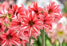 Photo of برای گل دهی گل آماریلیس چه باید کرد؟