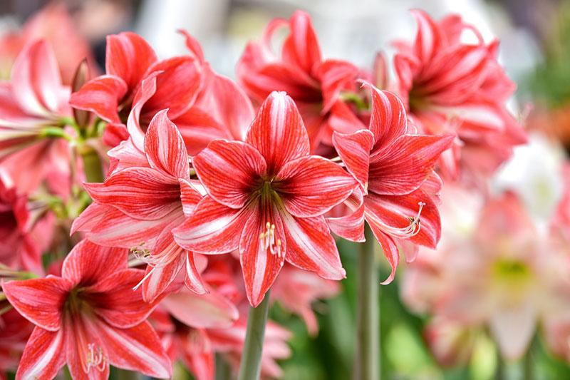 6 پرورش گل آماریلیس برای گل دهی