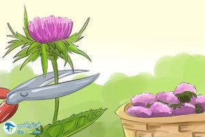 1 اصول برداشت و استفاده از خار مریم