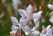 Photo of نحوه صحیح و اصولی کاشت، پرورش و مراقبت از گل زنبور Gaura