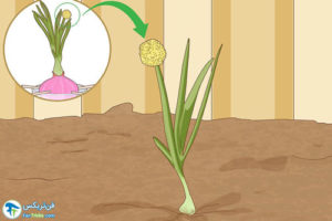 4 پرورش پیاز و پیازچه در آب