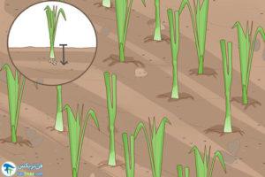 9 پرورش پیاز و پیازچه در آب