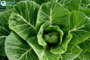 1 نحوه پرورش و استفاده از کولارد سبز