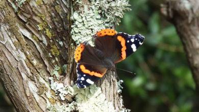 Photo of آشنایی با درخت هایی که پروانه ها را به خود جذب می کنند