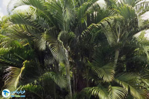 2 معرفی انواع درخت نخل