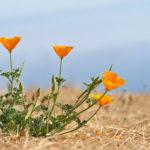 2 اصول پرورش و مراقبت از شقایق کالیفرنیا