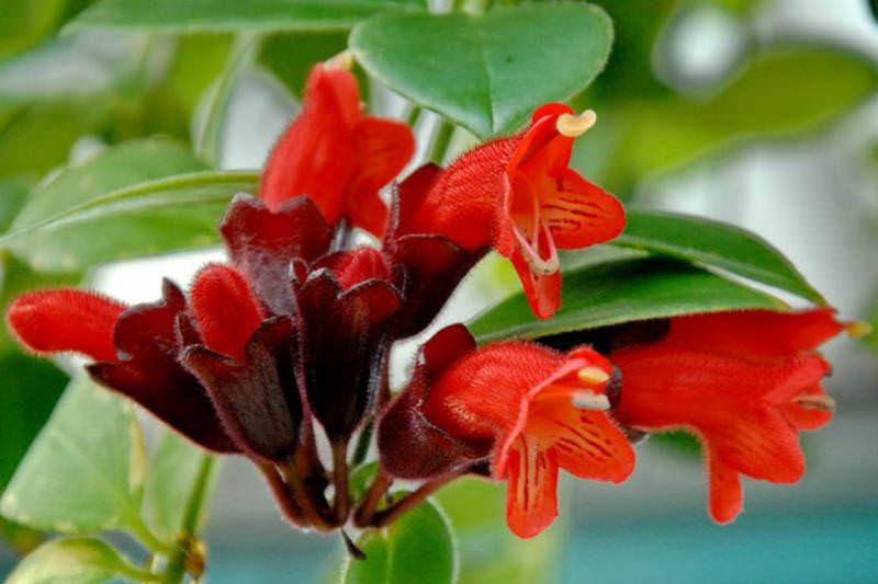 2 نحوه مراقبت از گل اسکینانتوس