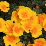 3 اصول پرورش و مراقبت از شقایق کالیفرنیا
