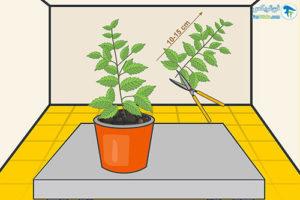 4 پرورش گیاه ریحان مقدس