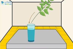 5 پرورش گیاه ریحان مقدس